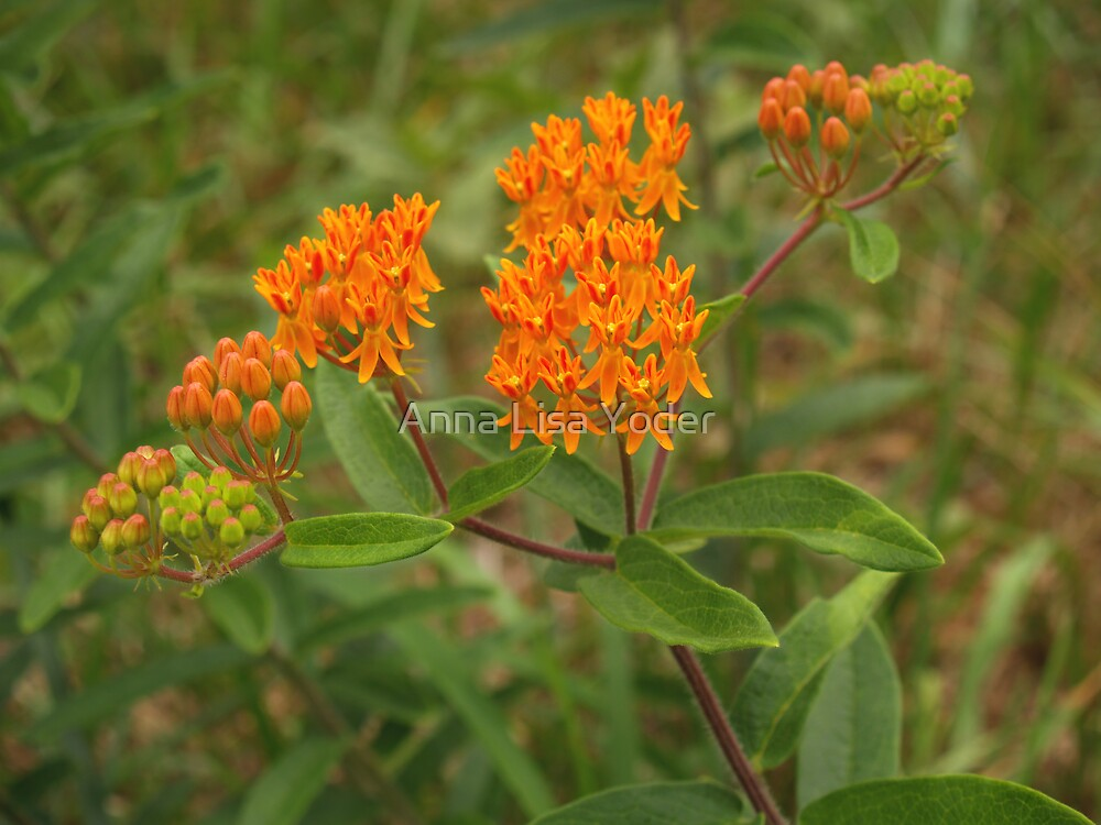 Orange Butterfly Weed in Meadow by Anna Lisa Yoder