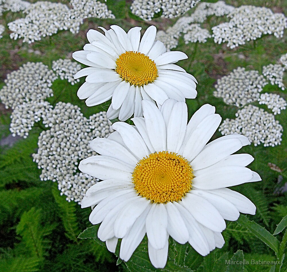Shasta Daisies And Yarrow Blooms by Marcella Babineaux