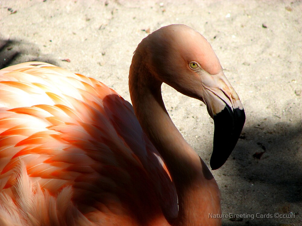Pink Flamingo by NatureGreeting Cards ©ccwri
