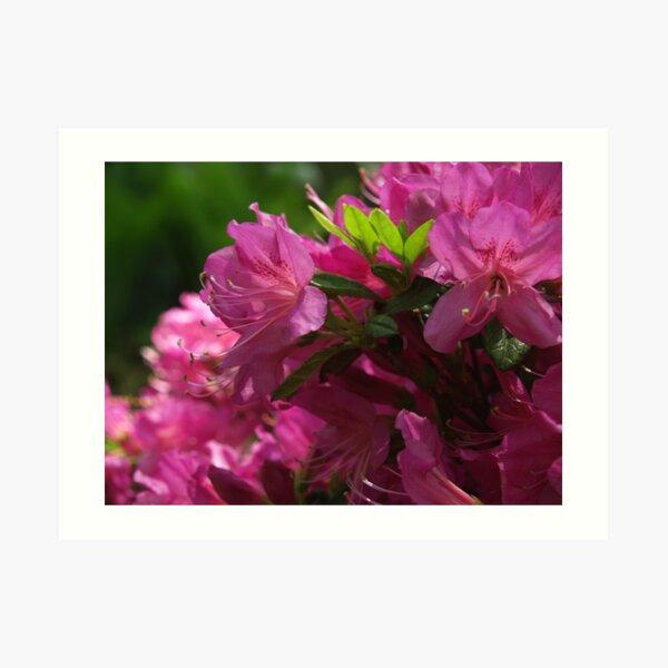 Fuchsia Azalea in Full Glory Art Print