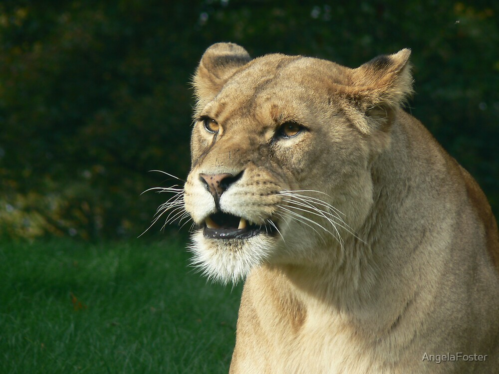 Lioness at Knowsley  by AngelaFoster