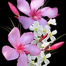 Pink and white by orko