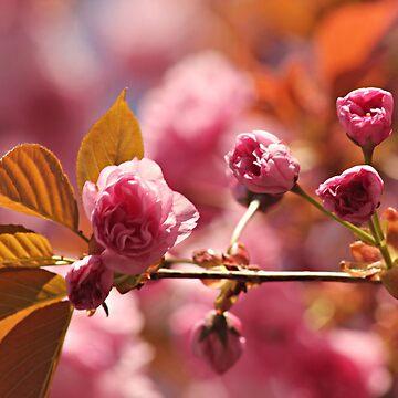 Cherry Blossoms by JudyPalkimas