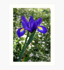 Dutch Iris Art Print