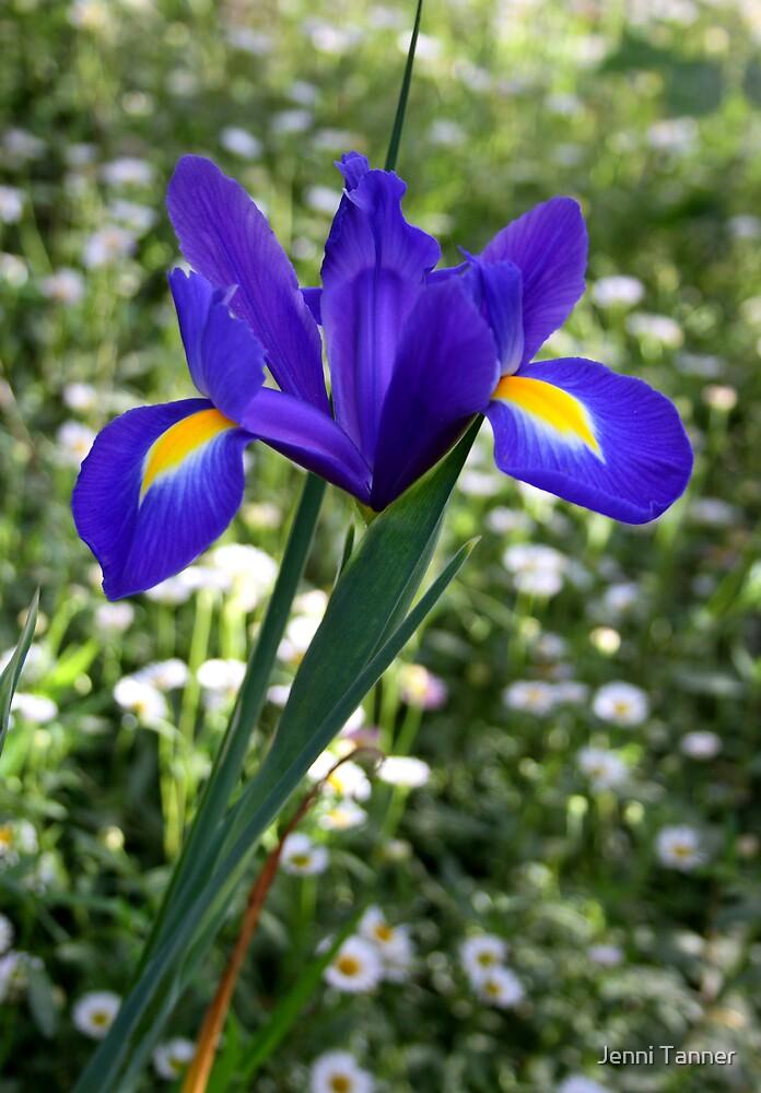 Dutch Iris by Jenni Tanner