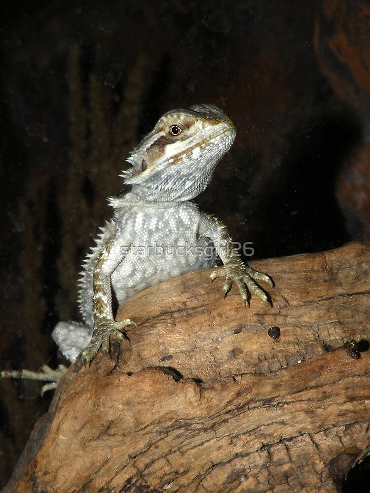 Baby Bearded Dragon by starbucksgirl26