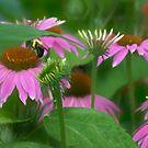 Summer Coneflowers by Eileen McVey