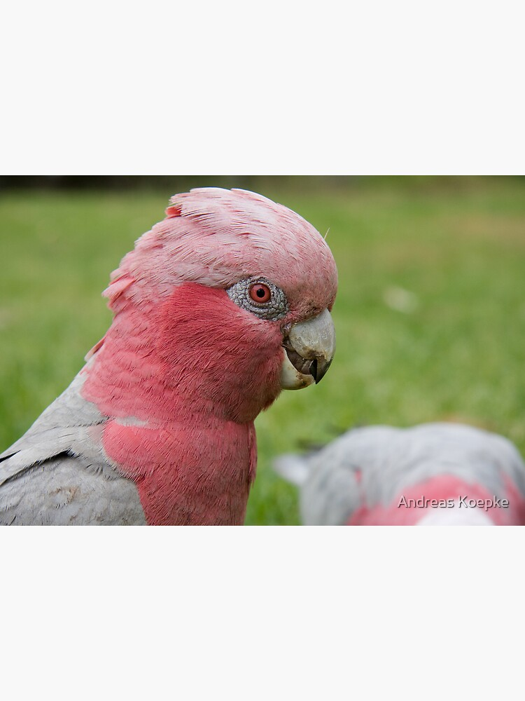 Pink & Grey Galah by mistered