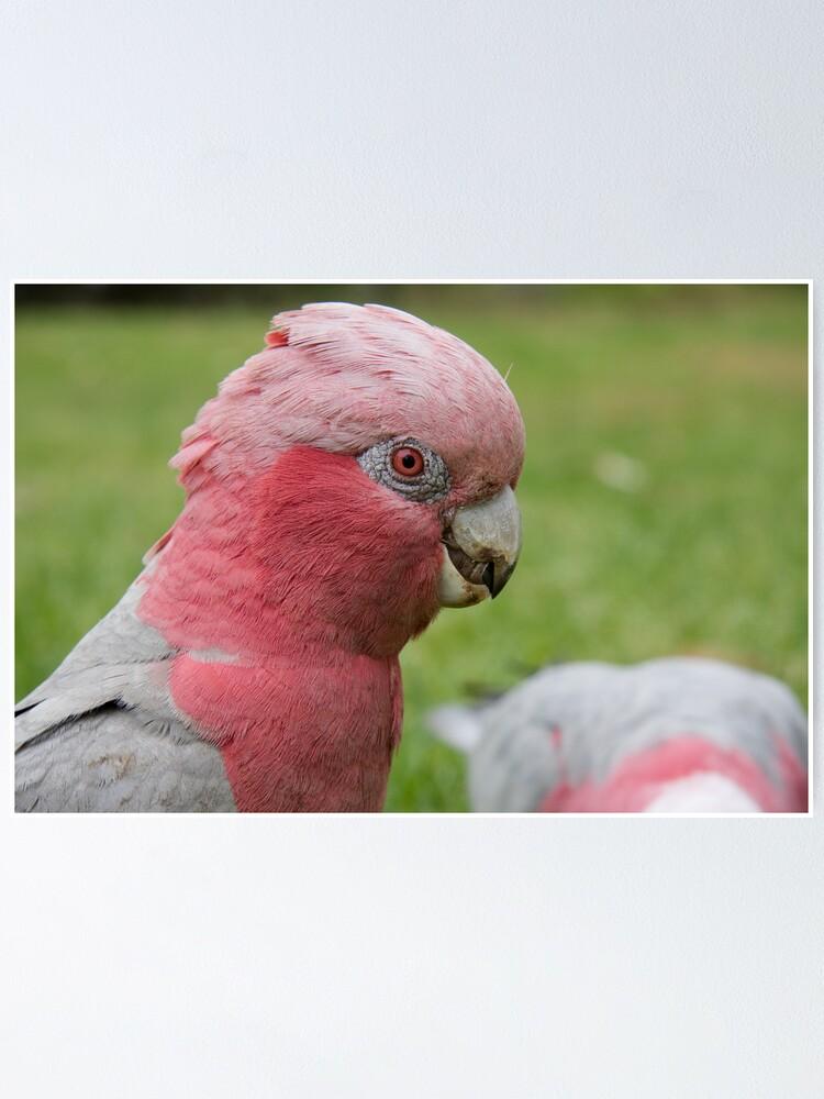Alternate view of Pink & Grey Galah Poster