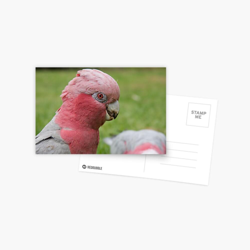 Pink & Grey Galah Postcard