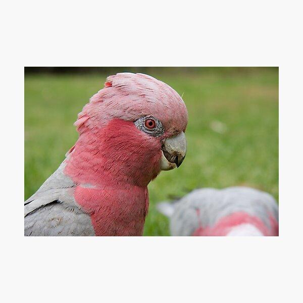 Pink & Grey Galah Photographic Print