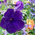Valvety Rich Purple Petunia by Kathryn Jones