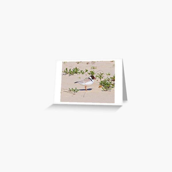 SHOREBIRD ~ Hooded Plover by David Irwin Greeting Card