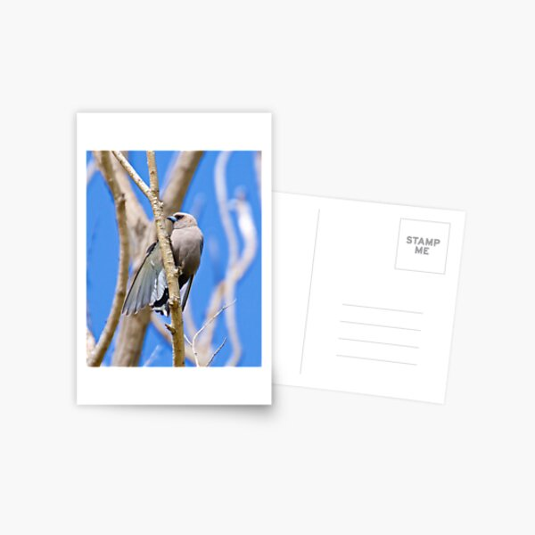 SWALLOW ~ Dusky Woodswallow 4223MTK9 by David Irwin ~ WO Postcard