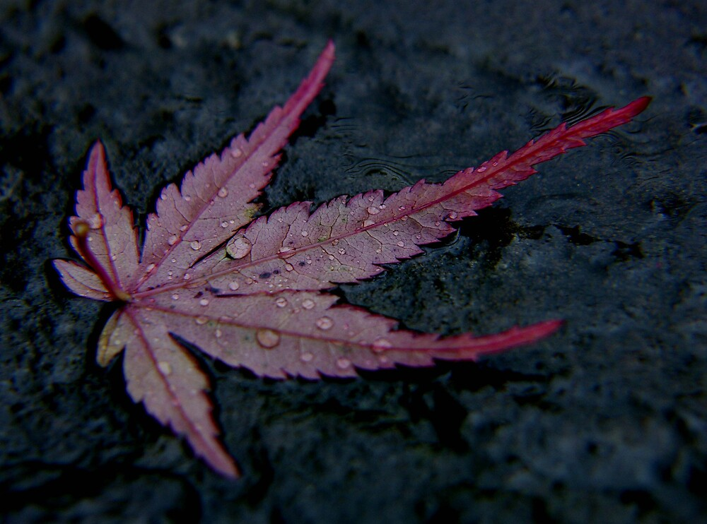 wet autumn acer leaf on slate ... by SNAPPYDAVE