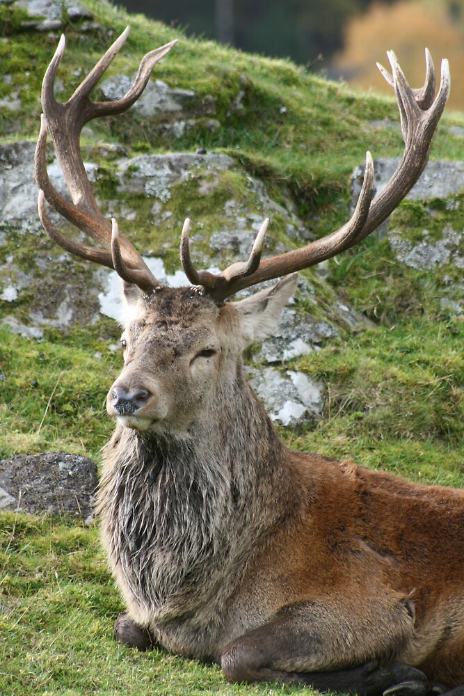 Red Stag Deer by Claire Williams