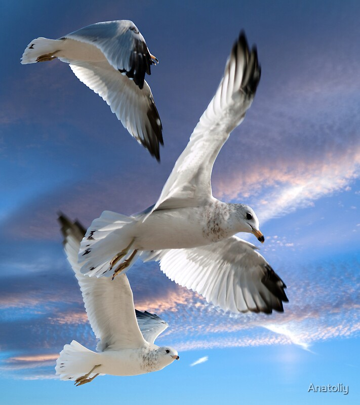 Quot Three Seagulls In Flight Quot By Anatoliy Redbubble
