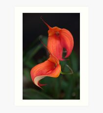 Orange Calla flower - Zantedeschia aethiopica Art Print