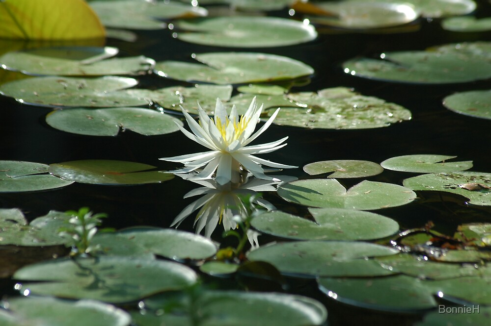 single white water lilly by BonnieH
