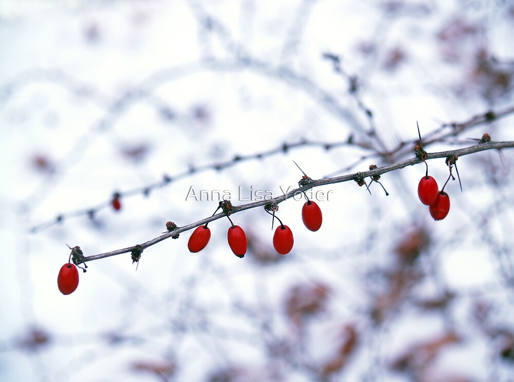 American Barberry in Snow by Anna Lisa Yoder