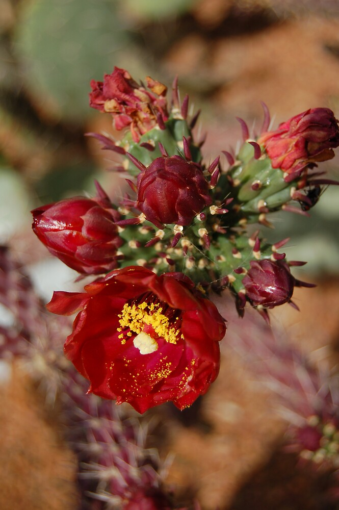 Cactus Blooms by Jerome Berner