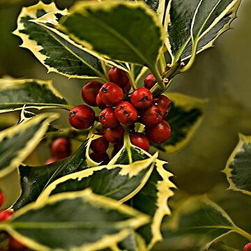 Christmas Holly with Red Berries by jacqi