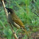 Brown Honeyeater by Jenelle  Irvine
