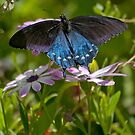 Pipevine Swallowtail Butterfly by K D Graves Photography
