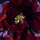 Scarlet Peony by Bev Pascoe