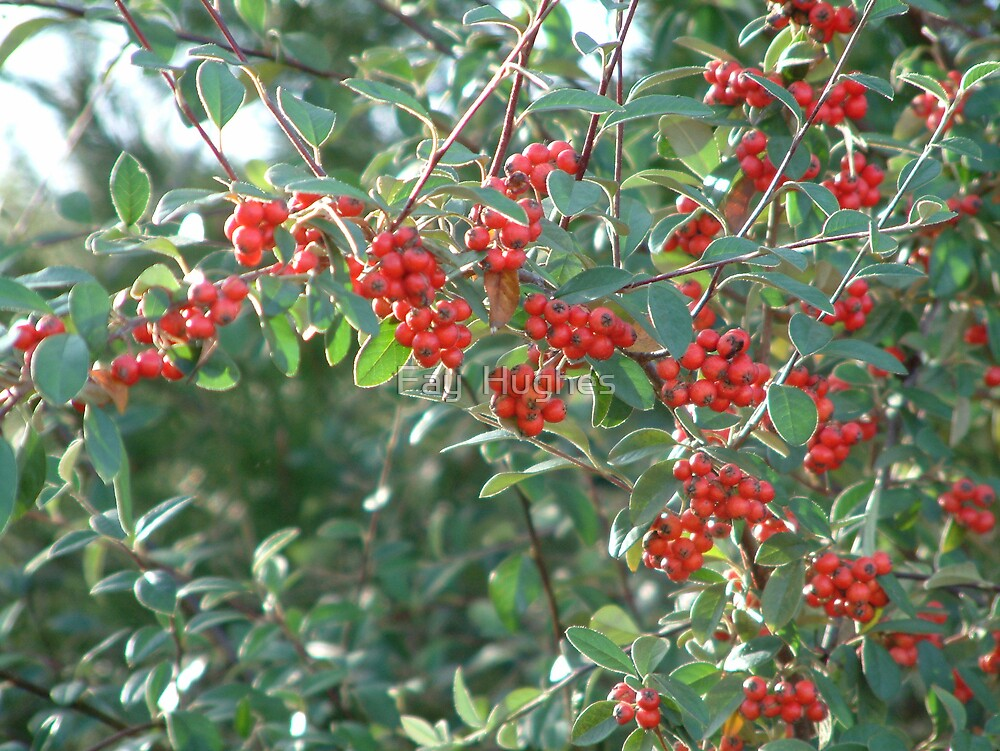 Red berries by Fay  Hughes