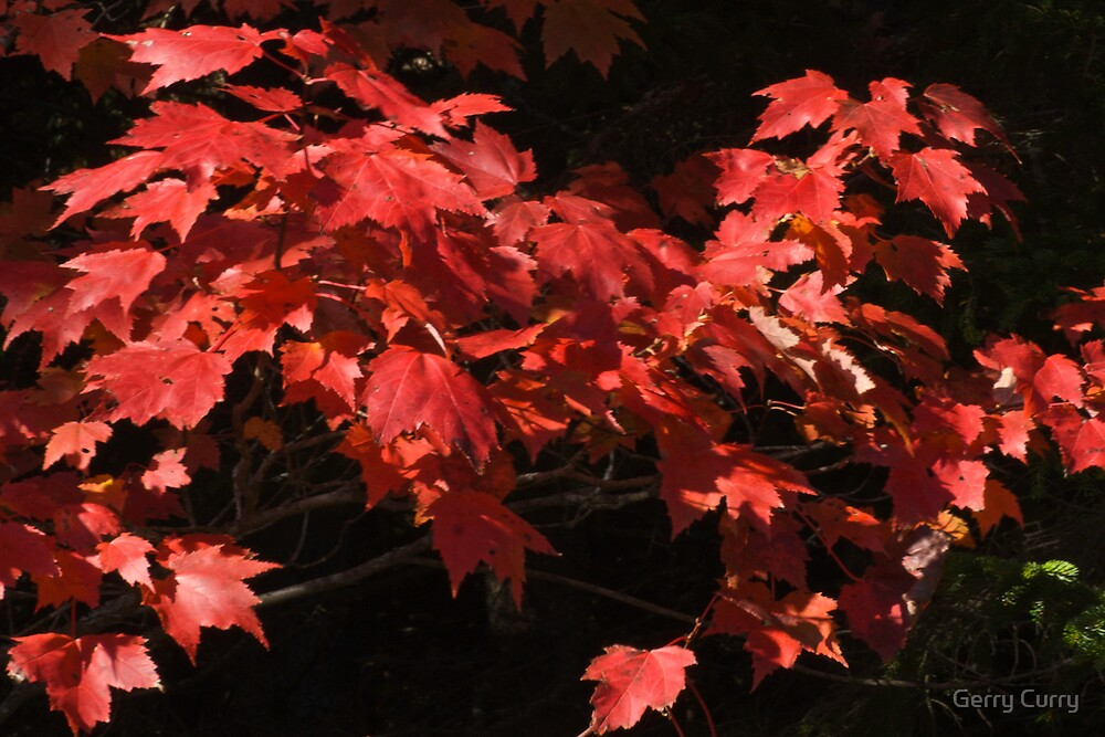 Fall Maple by Gerry Curry