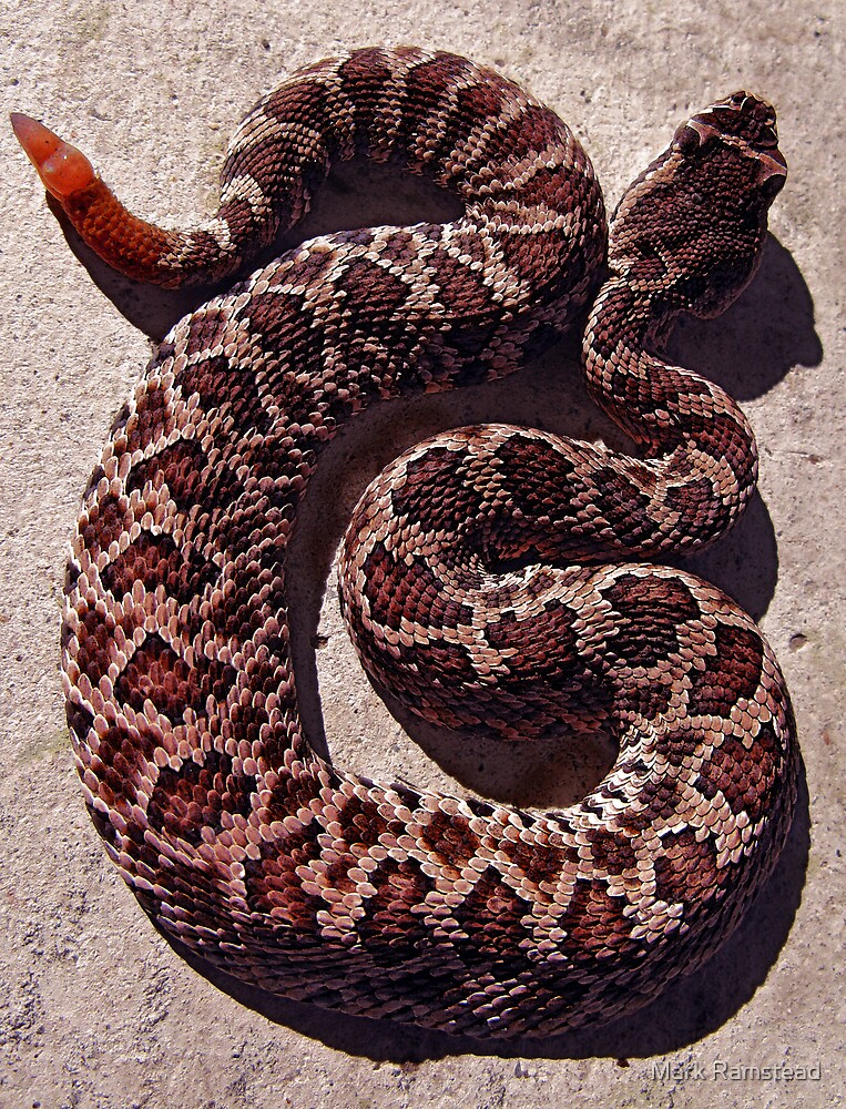 Rattle Snake by Mark Ramstead