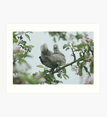 Baby collar dove in apple blossom Art Print