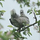 Baby collar dove in apple blossom by Lizzy Doe