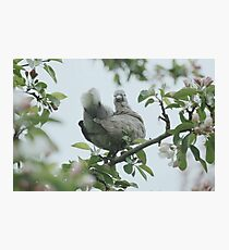 Baby collar dove in apple blossom Photographic Print