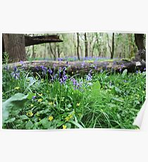 Bluebell wood in Cambridgeshire, England Poster