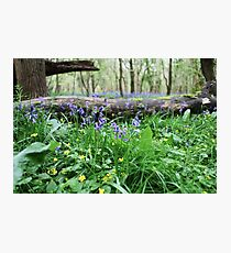 Bluebell wood in Cambridgeshire, England Photographic Print