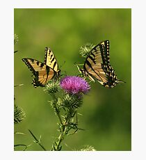 Eastern Tiger Swallowtail Photographic Print