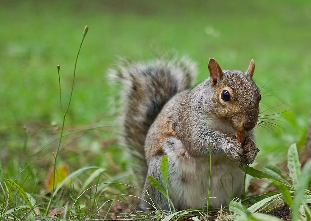 Squirrel by Idil