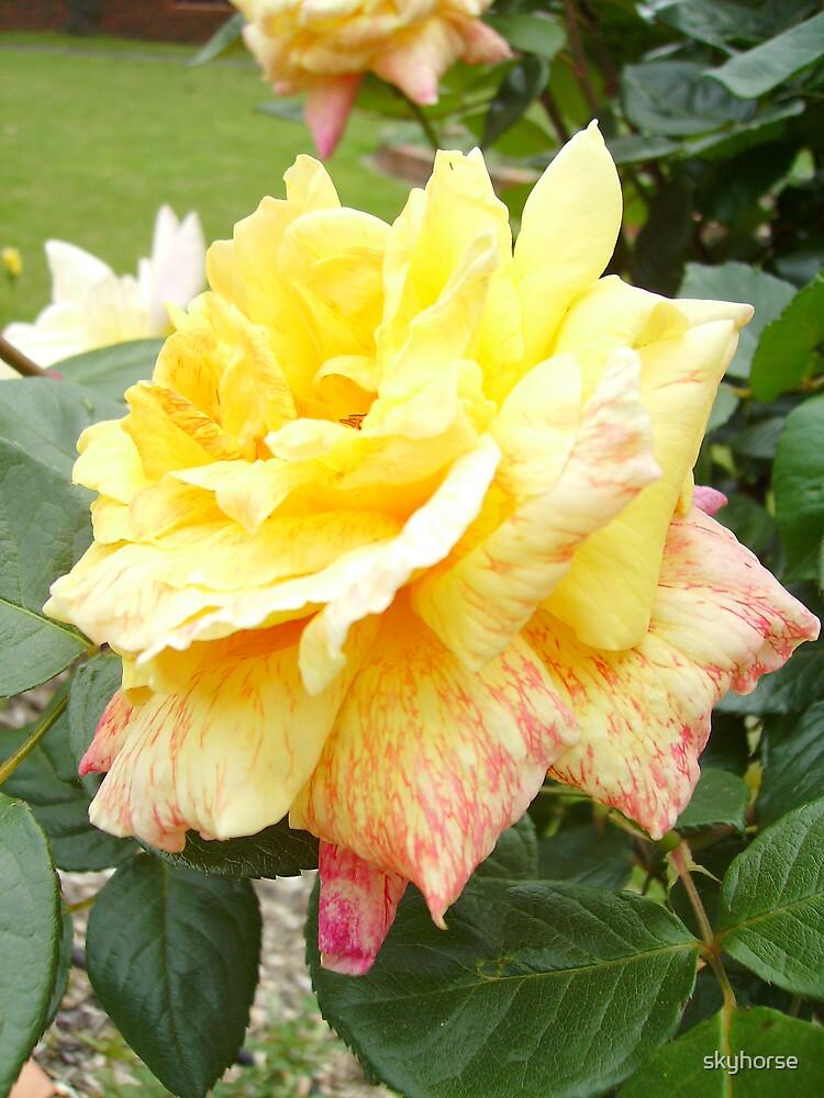 Rose in Lilydale #1 by skyhorse