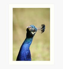 Curious peacock - Wiltshire, England Art Print