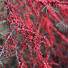 Red berries in Cambridgeshire, England by Lizzy Doe