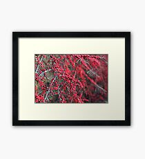 Red berries in Cambridgeshire, England Framed Print
