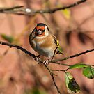 Gold Finch by peaky40
