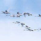 Early morning Whoopers by peaky40