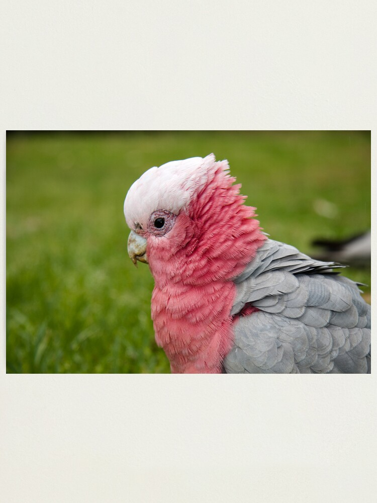 Alternate view of Ruffling his feathers Photographic Print