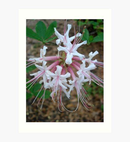 Swamp Azalea (Rhododendron viscosum) Art Print