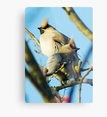 Waxwings on rowan tree - Cambridgeshire, England Metal Print