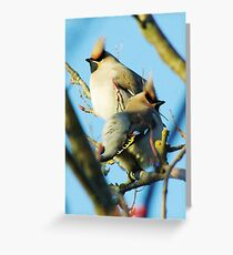 Waxwings on rowan tree - Cambridgeshire, England Greeting Card