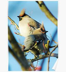 Waxwings on rowan tree - Cambridgeshire, England Poster